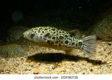 Green Pufferfish (Tetraodon nigroviridis)
