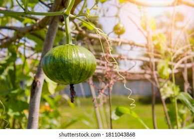 Green pumpkin hanging on the plant. pumpkin or  cultivation in a garden, with sun light-B