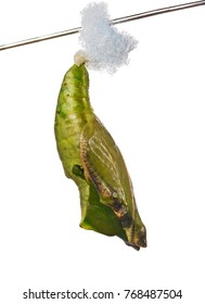 Green pupa of the blue wave, blue-banded purplewing, or royal blue butterfly, Myscelia cyaniris, on a stick, isolated on white background. Pupae is a stage between caterpillars and butterflies