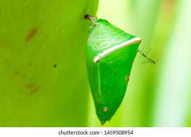 a green pupa of Caterpillar