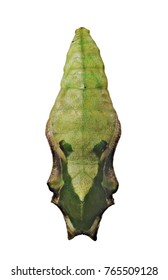 A green pupa of the the tropical blue wave, blue-banded purplewing, or royal blue butterfly, Myscelia cyaniris, isolated on white background. Pupae is a stage between caterpillars and butterflies.