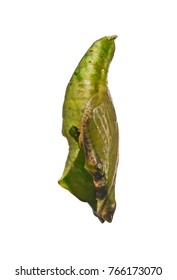 Green pupa of the tropical blue wave, blue-banded purplewing, or royal blue butterfly, Myscelia cyaniris, isolated on white background. Pupae is a stage between caterpillars and butterflies. Side view