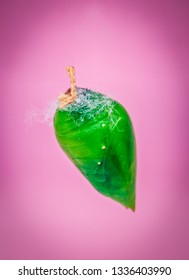 A green pupa of the tropical butterfly over pink background. Pupae is a stage between caterpillars and butterflies.