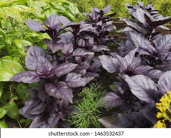 Green and purple basil. Growing herbs in the garden. Home grown herbs
