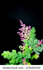 green and purple fern leaf. Young leaves of fern have a purple color.