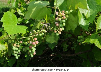 Green and Purple Grapes Hanging on the Vine - Starting to Ripen