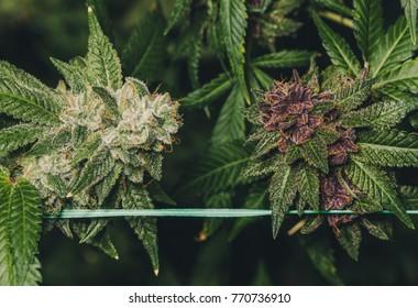 Green and Purple Marijuana Buds