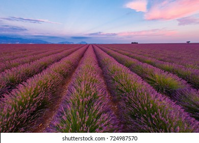 green and purple sprouts of lavender sticking out of manicured rows on the field in sunset light
