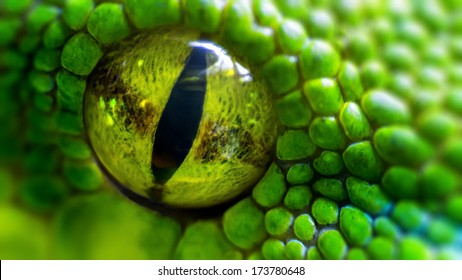 Green python (Morelia viridis). closeup of the eye