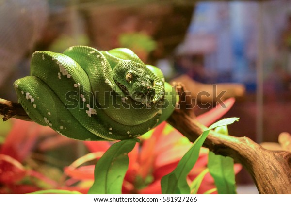 Green Python on the Branch.