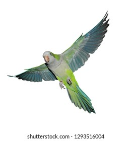A green quaker parrot in flight. Isolated on a white background.