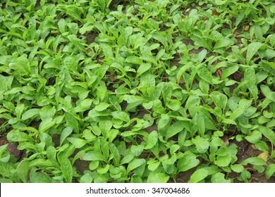 green radish plants in growth at vegetable garden