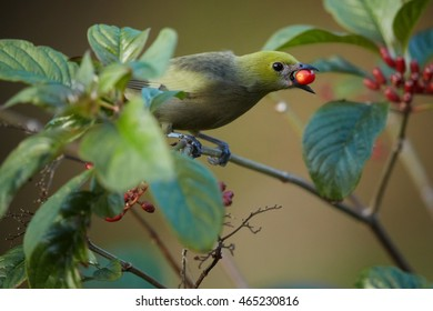 Green rainforest bird, Thraupis palmarum,  Palm Tanager with red berry in its  beak, feeding on small red berries. Close up horizontal photo, blurred green background. Main Ridge, Trinidad and Tobago.