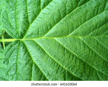 green raspberry leaf, background