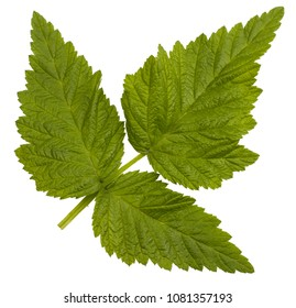 Green raspberry leaf isolated on white.