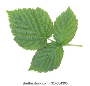 Green raspberry leaves. Isolated on a white background, close-up.