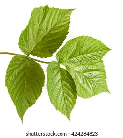 green raspberry leaves. isolated on white background