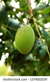 A Green raw mangoe on the tree.