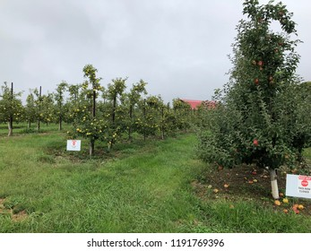 Green and Red Apples Hanging From Tree In Cloudy Fall Day in Virginia Appalachian Mountains With a Barn in the Background