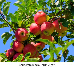 Green and red apples in the orchard on trees in summer