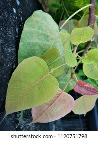 Green and red Bodhi leaves with black background (also known as Pipal leaves and Bo leaves)