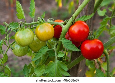 Green and red cherry tomatoes on branch. Growing cherry tomatoes in the garden. Shallow depth of field. Focus on tomatoes.