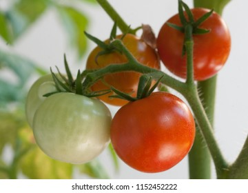 Green and red cherry tomatoes ripening on the vine