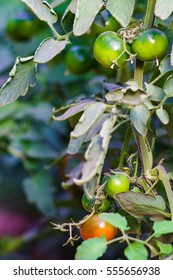 Green and red cherry tomatos
