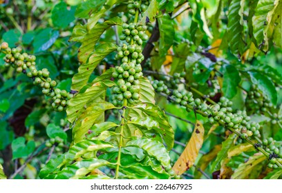 Green and red  coffee beans growing on the branch