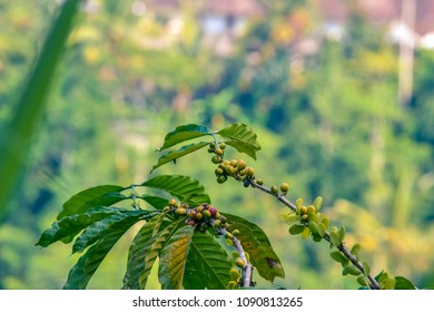 Green and red Coffee beans on branches of a coffee tree covered by coffee leaves