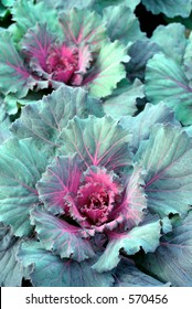 Green and red fall harvest cabbage.