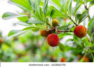 green and red fruits on Chinese bayberry tree