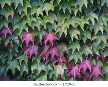 Green and red ivy background