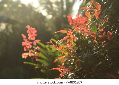 Green and red leaves of a bush with the bright morning sunlight and a bunch of red orchid flower blurred at the background.