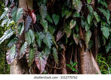 Green and red leaves philodendron climbing on the trunk of big banyan tree.