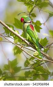 Green red Parakeet. Natural background. Alexandrine Parakeet. Psittacula eupatria. İstanbul Turkiye.