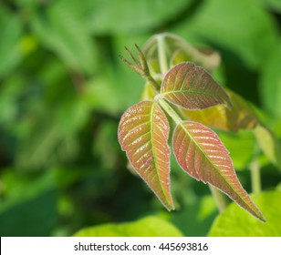 Green and red poison ivy in clusters of three leaves with the typical serrated and notched appearance.