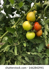 Green and red round tomatoes on their plant