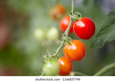 Green and red tomatoes on a risp gardening