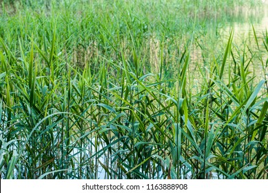 Green reed near lake