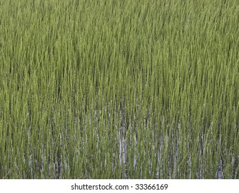 Green reed-bed on boggy riverbank