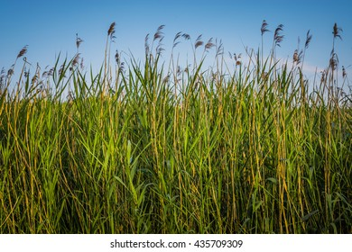 Green reeds and blue sky
