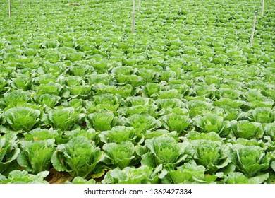 Green refreshing view of vegetable farm over mountain range in Kundasang Sabah Malaysia.