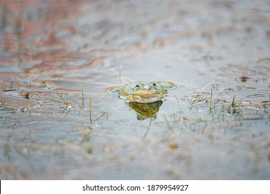 Green reptile animal, frog near the lake wildlife nature. Amphibian exotic frog in the forest swamp or jungle rainforest