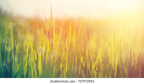 Green rice field background with sunlight
