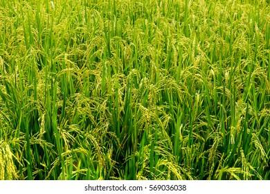 green rice field in Bali