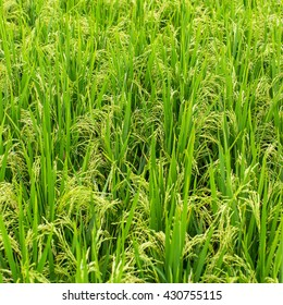 Green rice field. Close-up.