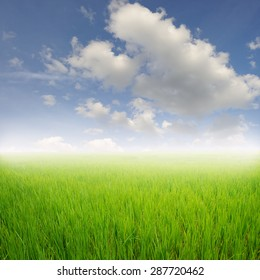 Green rice field and clouds sky for background