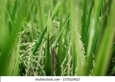 Green Rice field with coconut tree