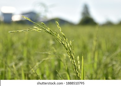 Green rice field in the country side.